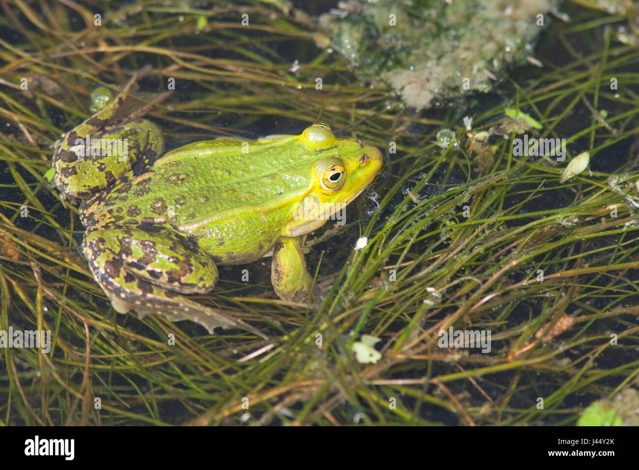 photo of a male pool frog in the water - Stock Image