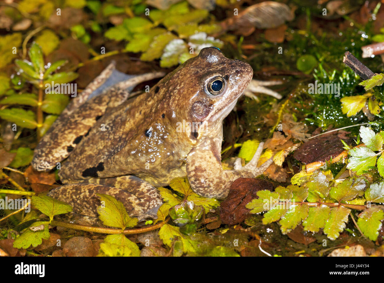 male common frog in a garden pond at night - Stock Image
