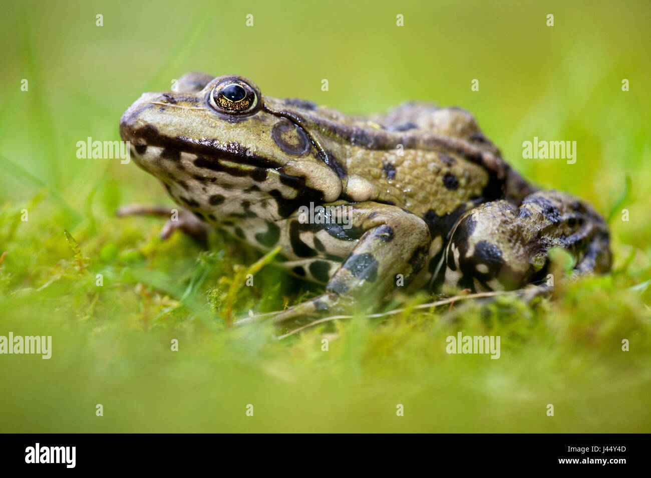 photo of a marsh frog in green grass against a green background - Stock Image
