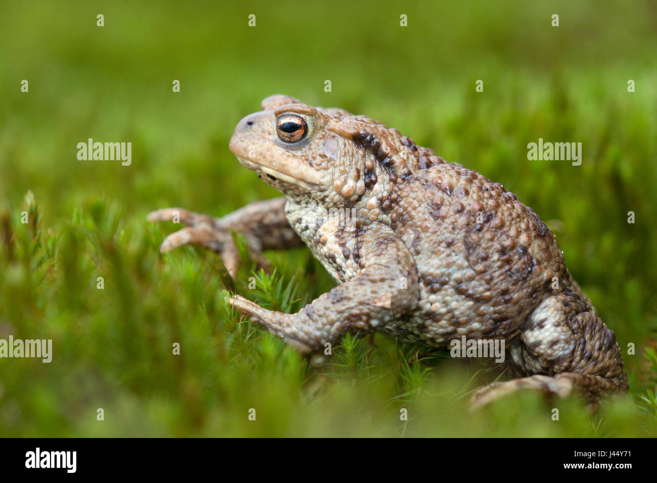 gewone pad; bufo bufo; common toad; common european toad; crapaud commun; erdkröte; bufonidae; pad; padden; toad; Stock Photo
