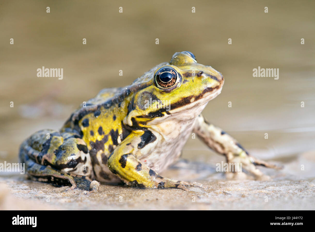 photo of a edible frog on the shore - Stock Image