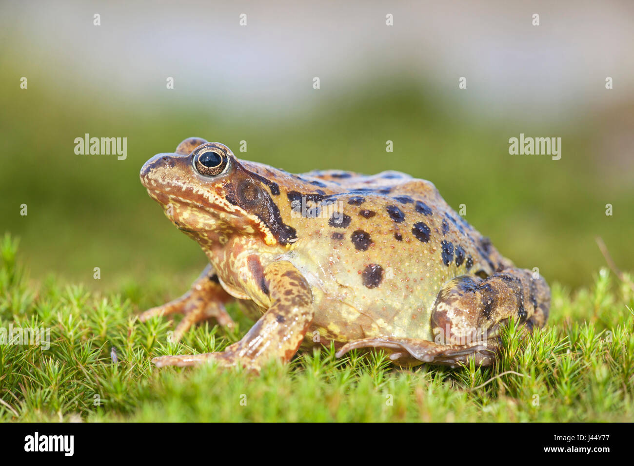 photo of a common frog on moss - Stock Image