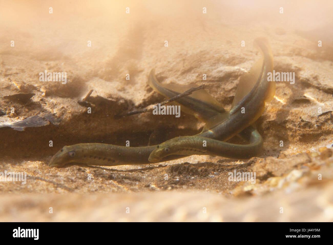 spawning brook lampreys - Stock Image