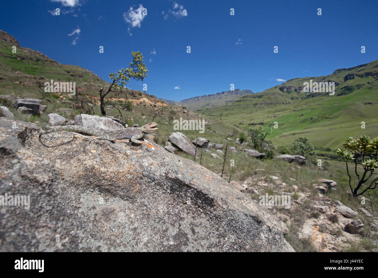wideangle shot of a basking Southern rock agama - Stock Image