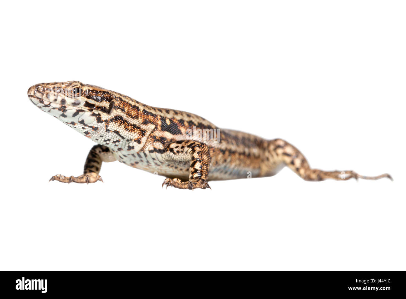 rendered photo of a common wall lizard - Stock Image