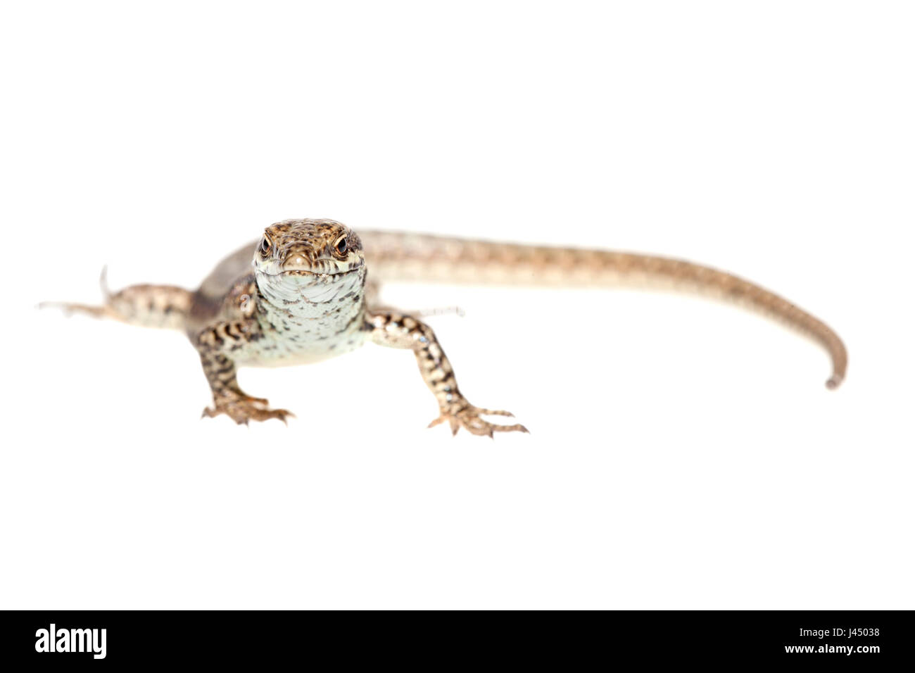 rendered photo of a common wall lizard (podarcis muralis) - Stock Image