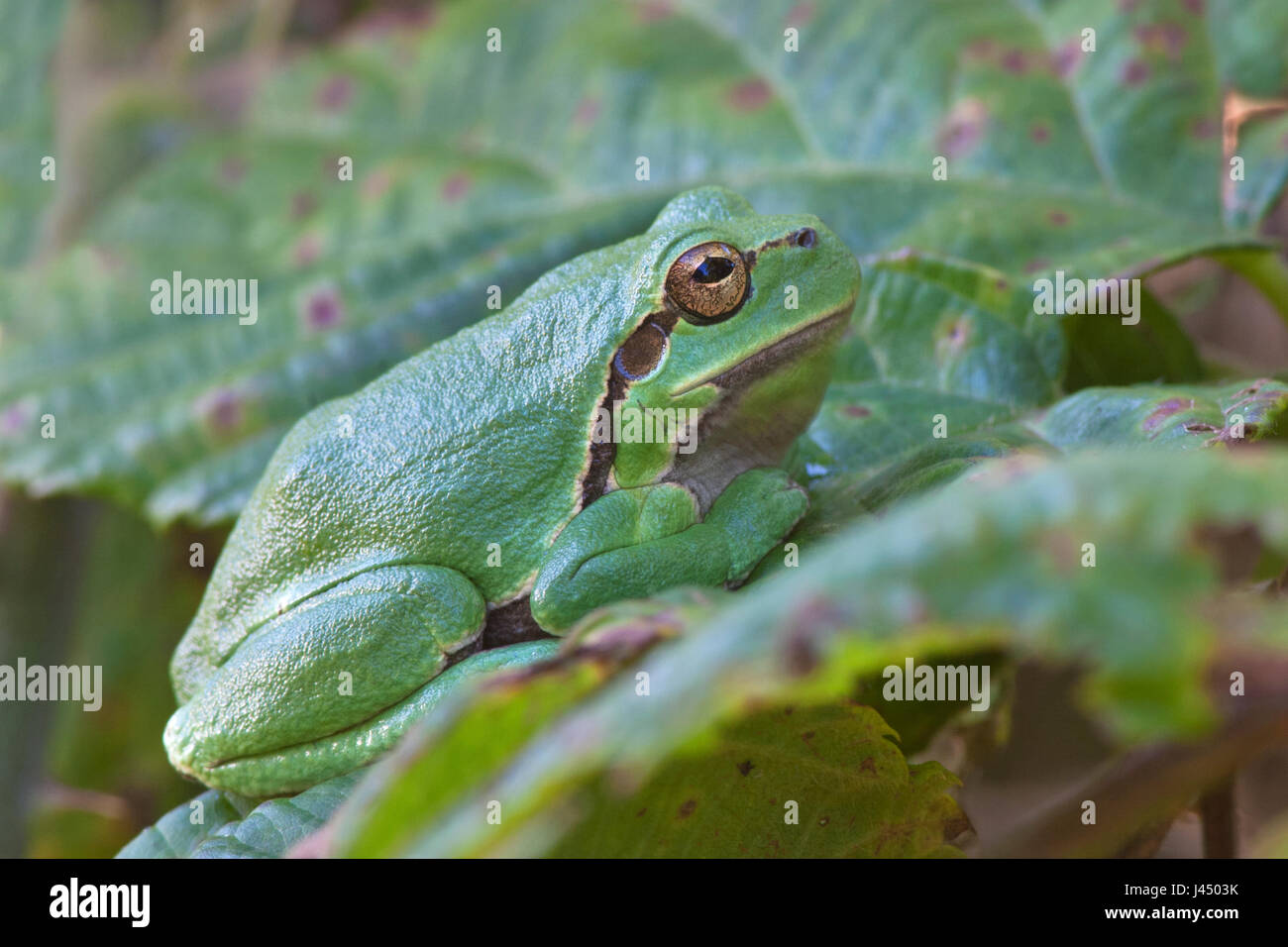 photo of a common tree frog (Hyla arborea) on a leaf Stock Photo