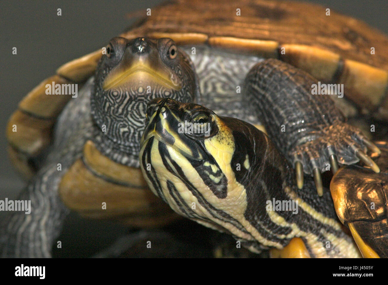 photo of a Cumberland slider turtle and a false map turtle in a turtle center, every year hundreds of turtles and - Stock Image