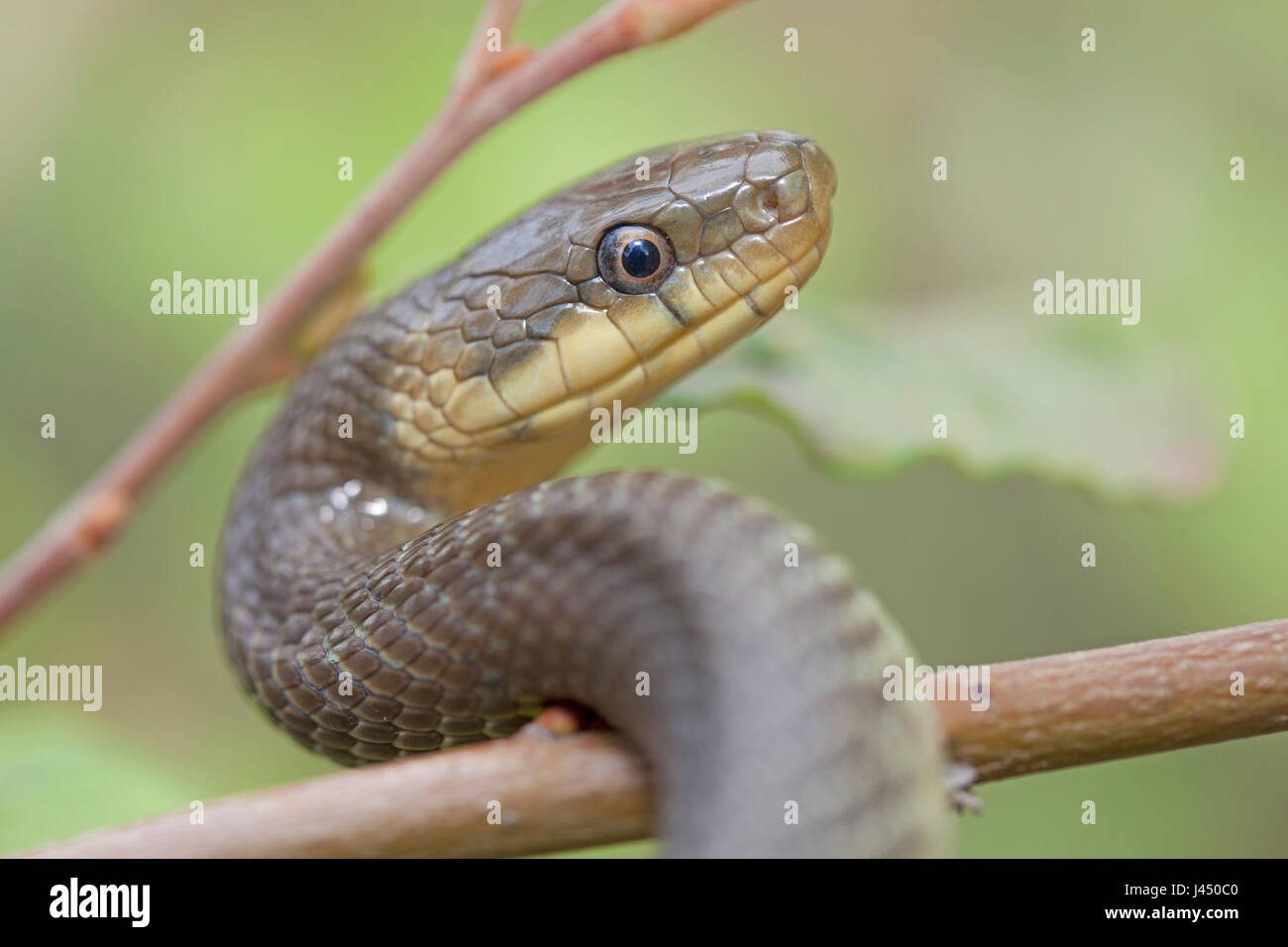 photo of an Aesculapian snake climbing in a tree - Stock Image
