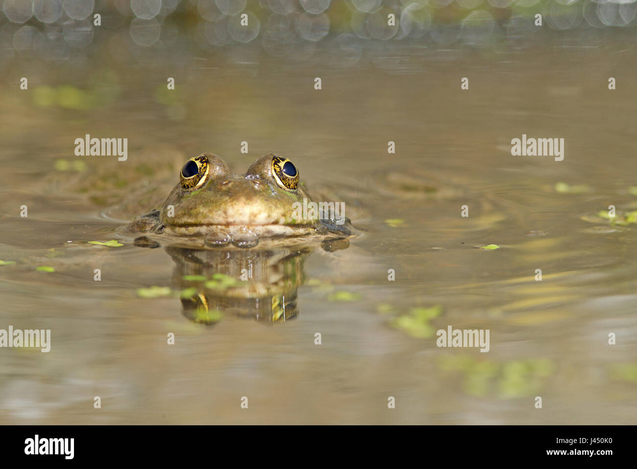 marsh frog in the water Stock Photo