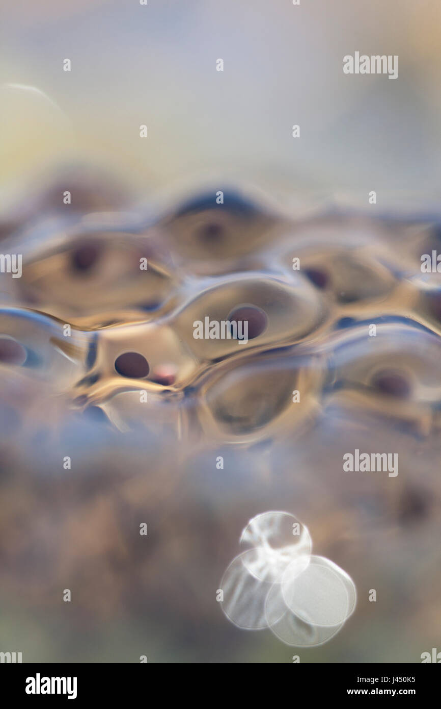 Frog spawn from moor frog - Stock Image