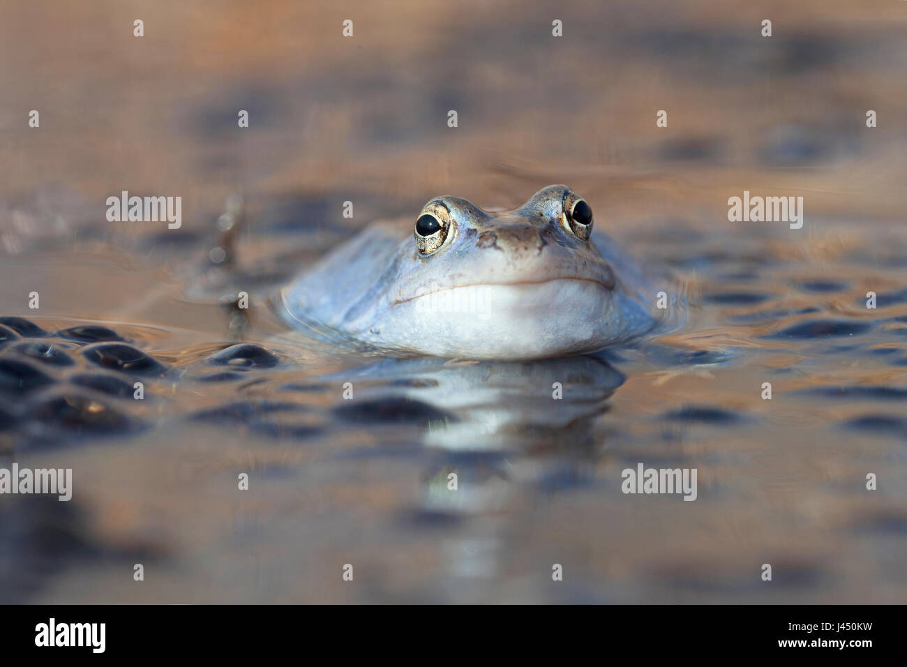 portrait of a blue male moor frog - Stock Image