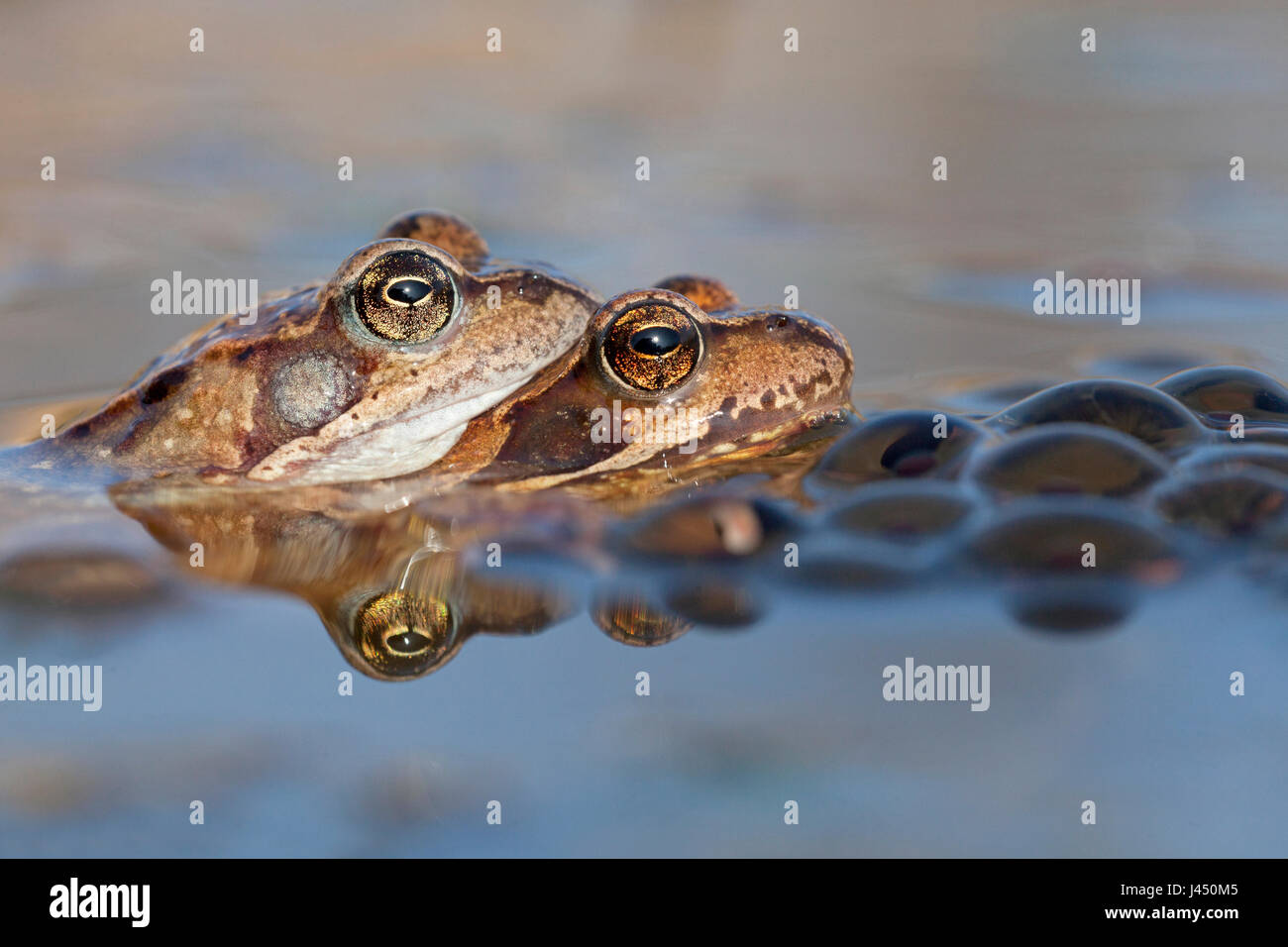 pair common frogs in the water between frog spawn - Stock Image