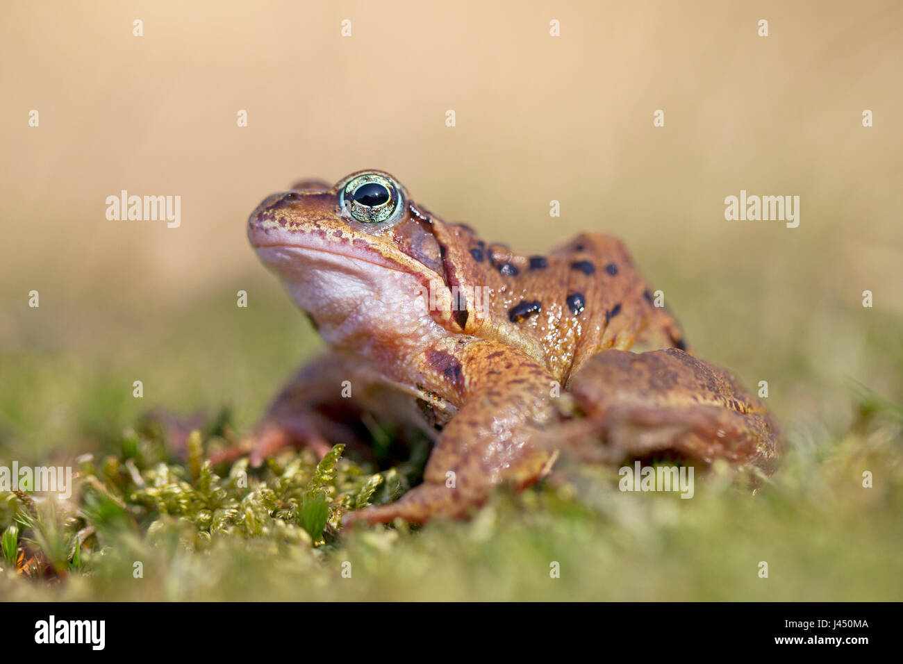 photo of a common frog Stock Photo