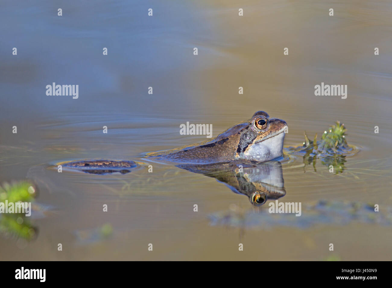 Common frog male calling in the water - Stock Image