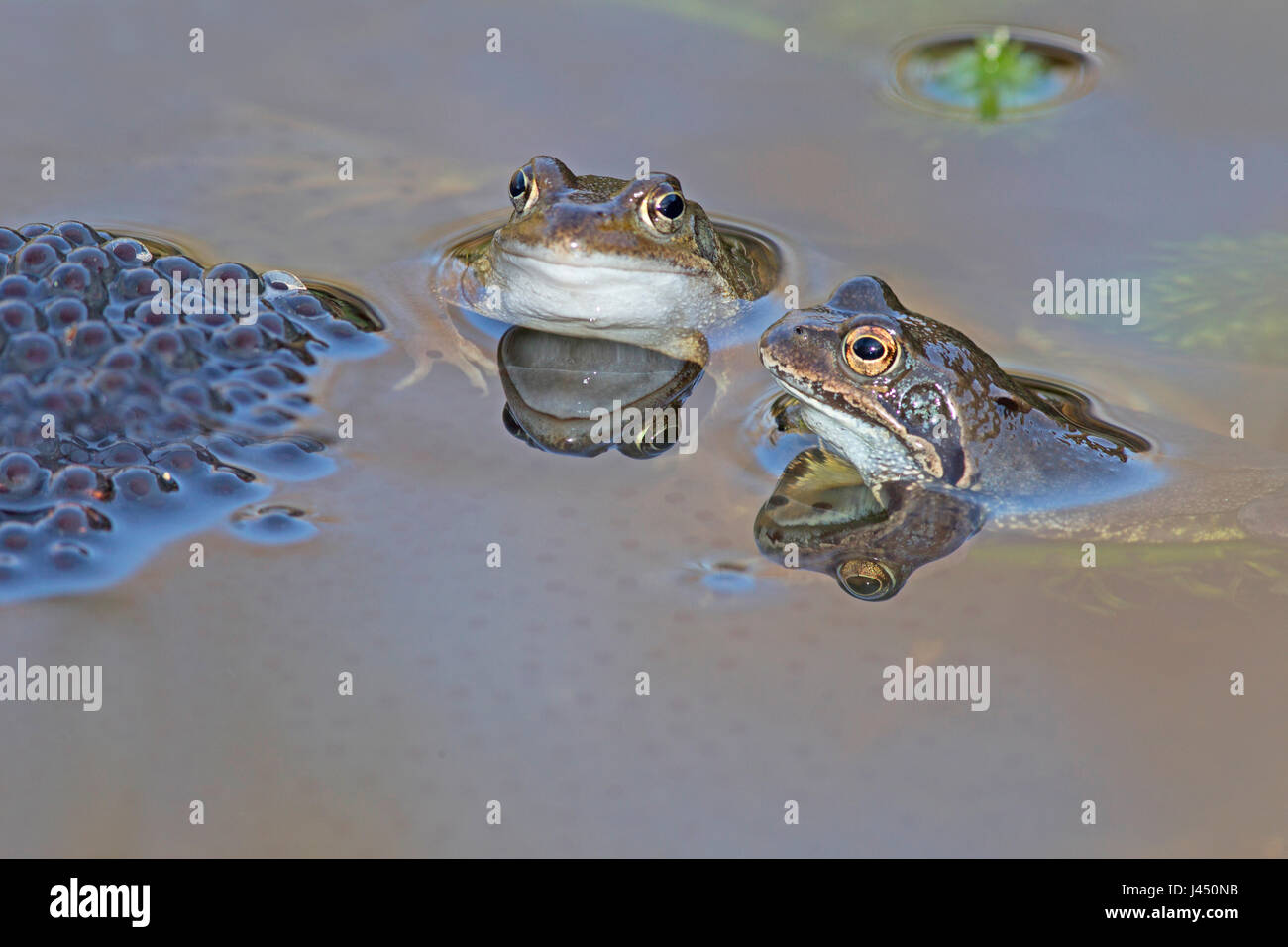 Duo common frogs near frog spawn - Stock Image