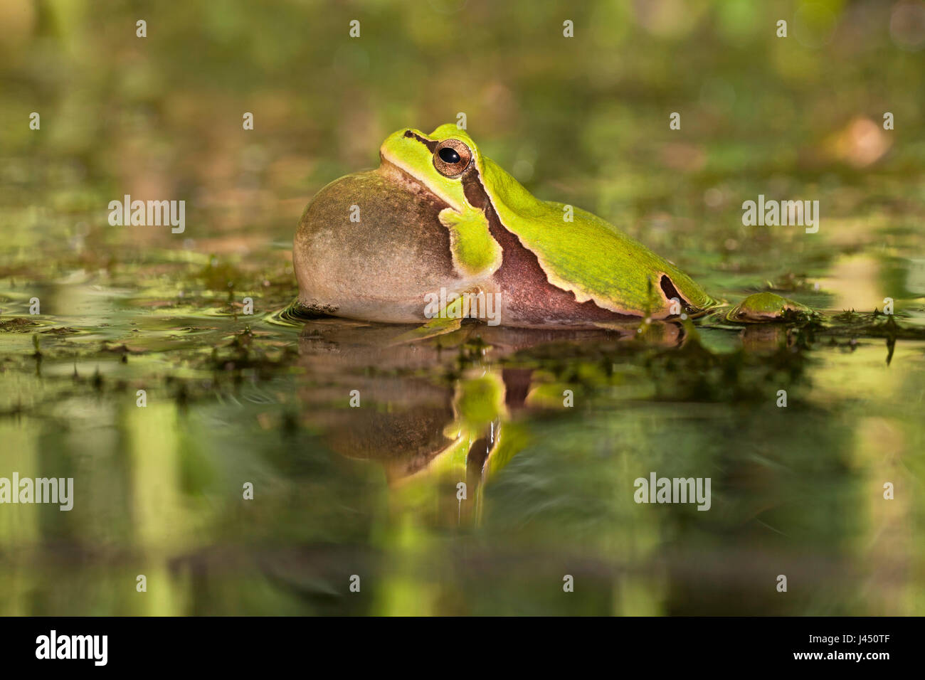 male common tree frog calling - Stock Image