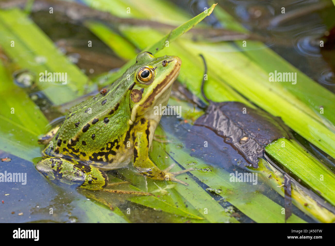 Pool frog (Rana lessonae) resting on branches in the water - Stock Image
