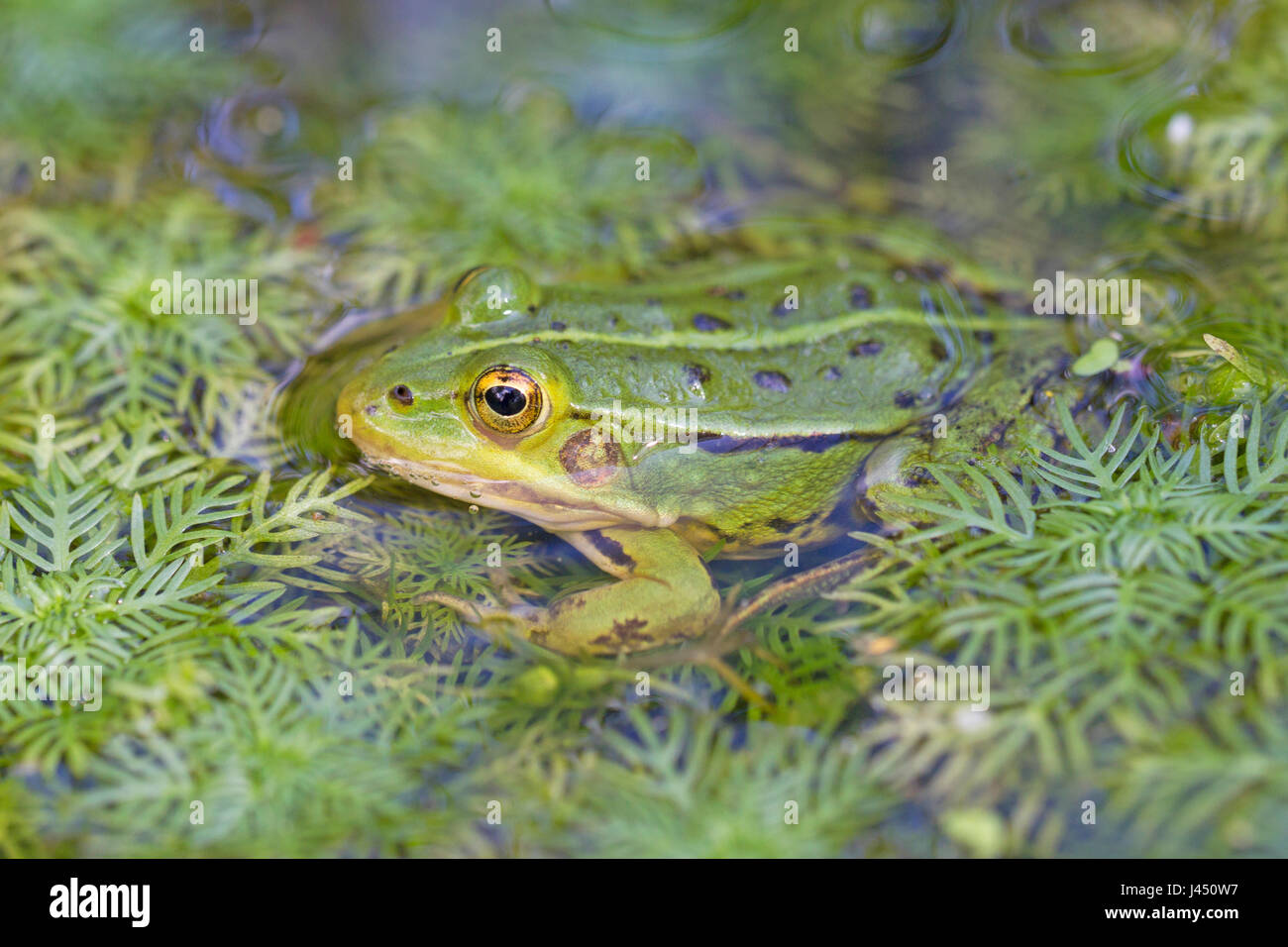 Pool frog in the water Stock Photo