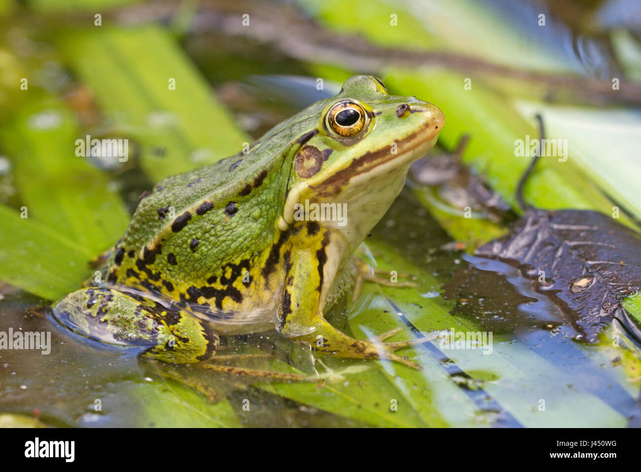 Pool frog resting on stalks in the water - Stock Image