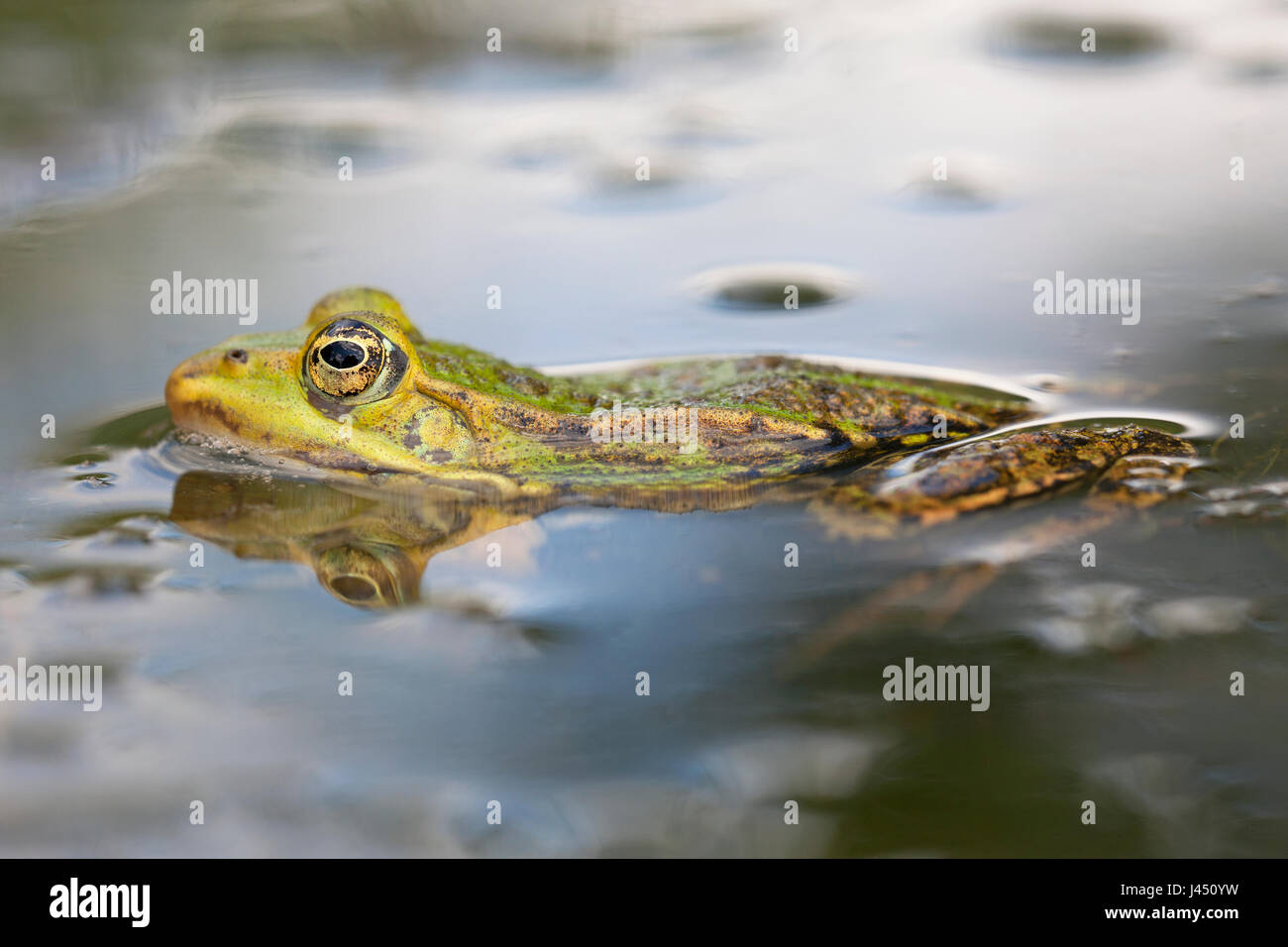 Edible frog in the water - Stock Image