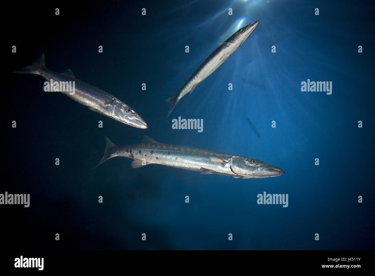 barracuda's photographed from below - Stock Image
