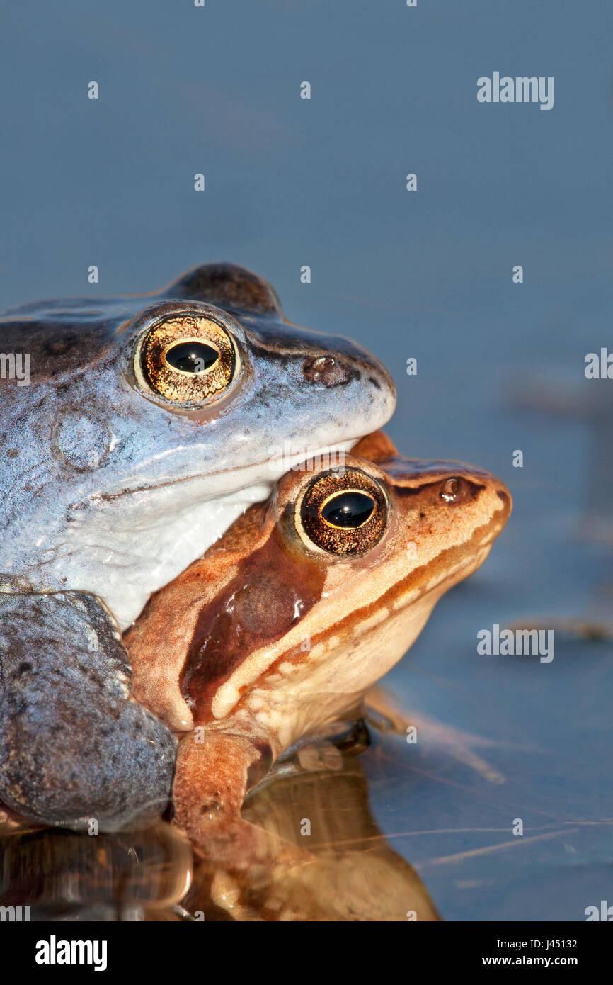 portrait of pair of moor frogs in the water - Stock Image