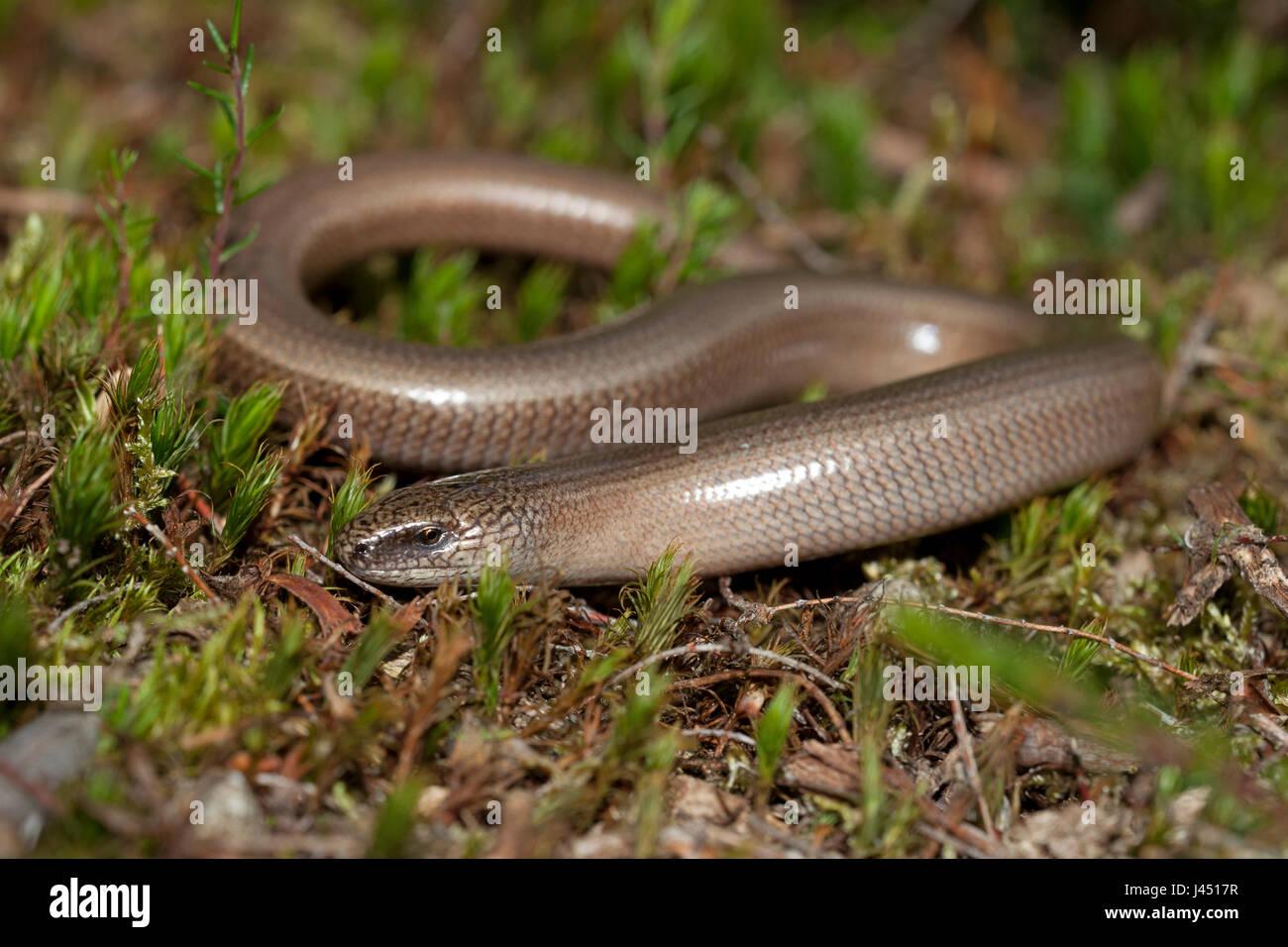 slow worm basking - Stock Image