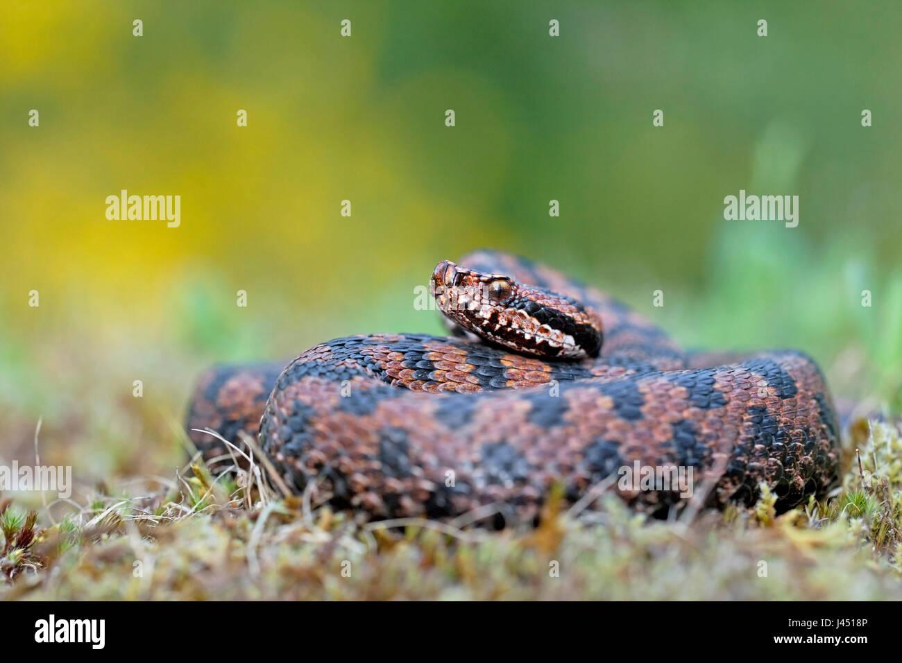 basking asp viper - Stock Image