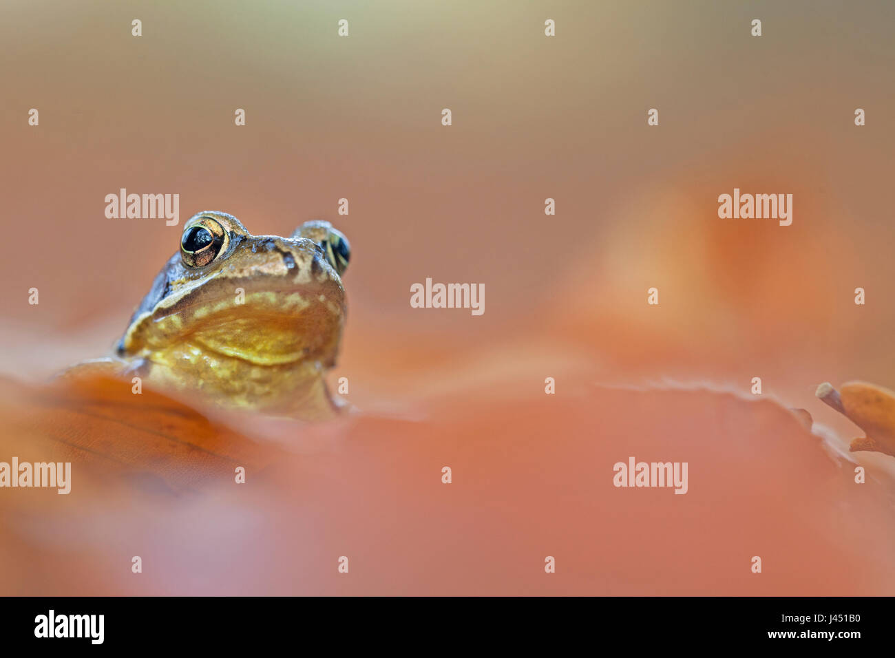 common frog between autumn leaves - Stock Image
