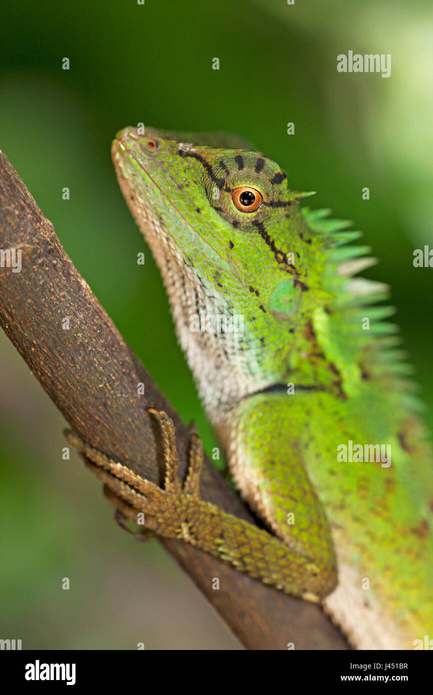 portrait of a forest crested lizard - Stock Image
