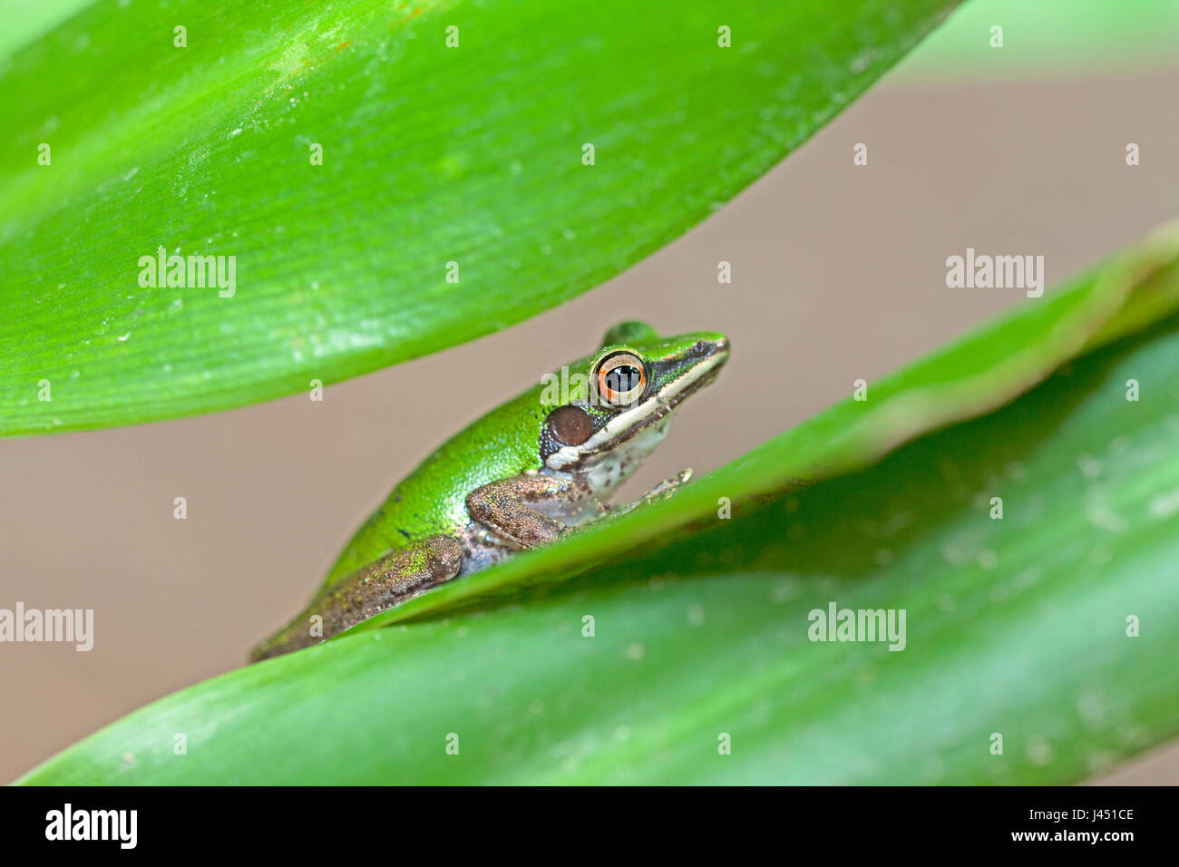 photo of a copper cheeked frog on a leaf - Stock Image
