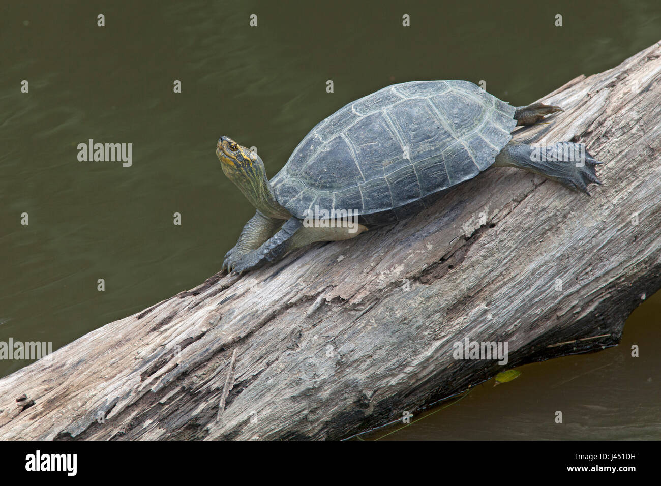 yellow-headed temple turtle basking on a tree above the water - Stock Image