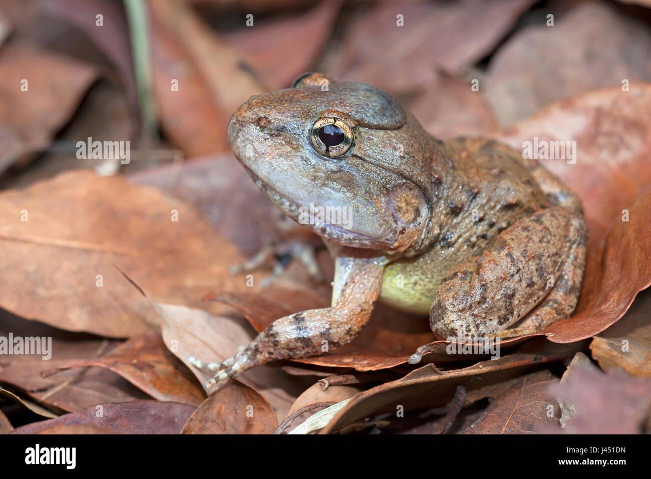 Gyldenstolpe's frog on forest floor - Stock Image
