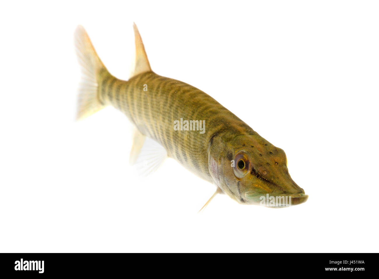Baby pike of 10 cm isolated on white - Stock Image