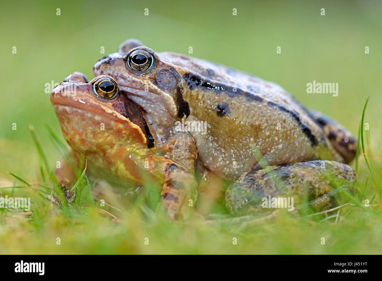 portrait of a pair of brown frogs - Stock Image
