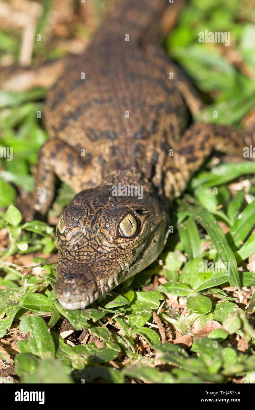 Portrait of a nile crocodile hatchling Stock Photo
