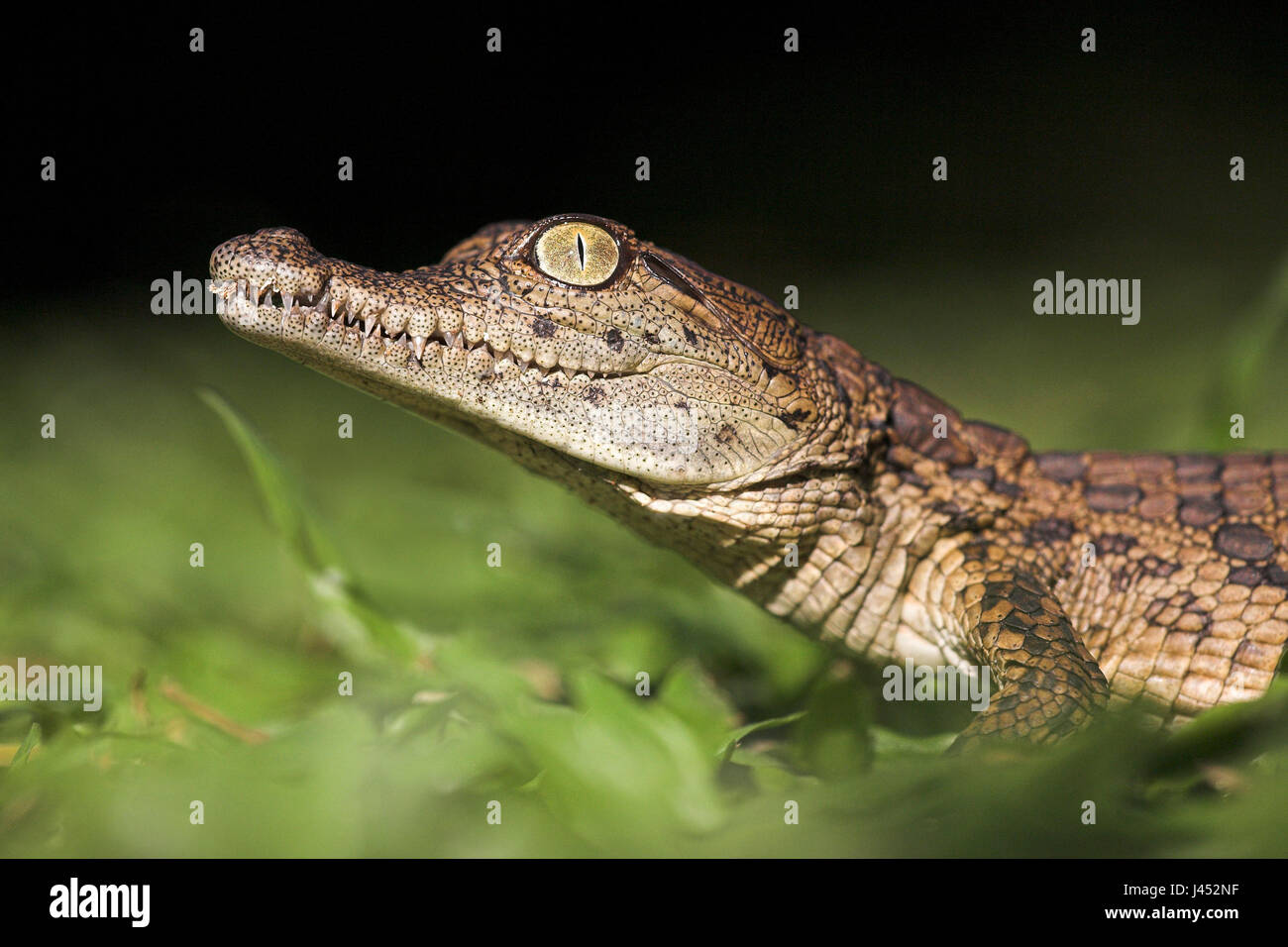 Portrait of a nile crocodile hatchling Stock Photo