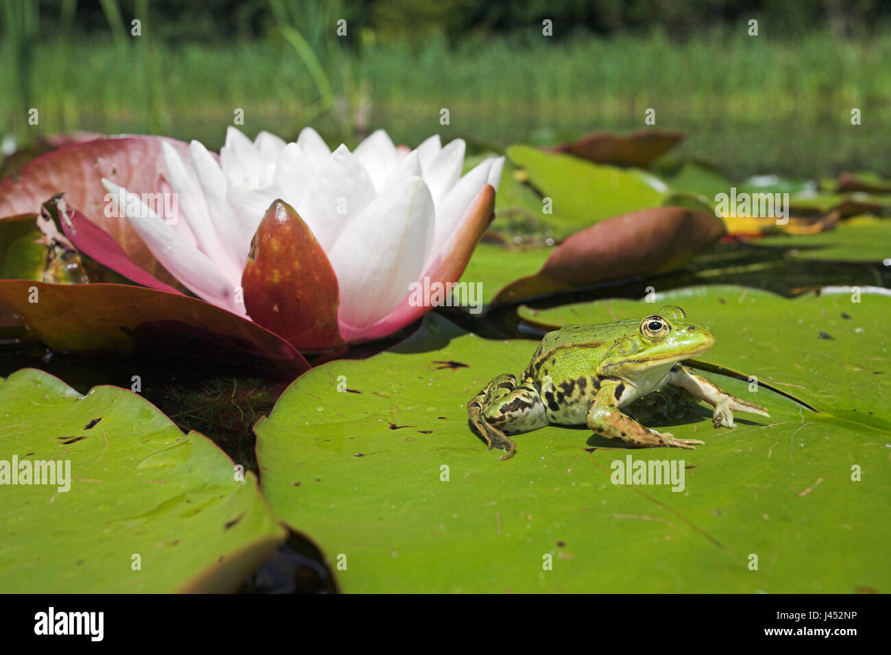 photo of an edible frog sitting on a leaf of european white waterlilly with a flower in the background - Stock Image