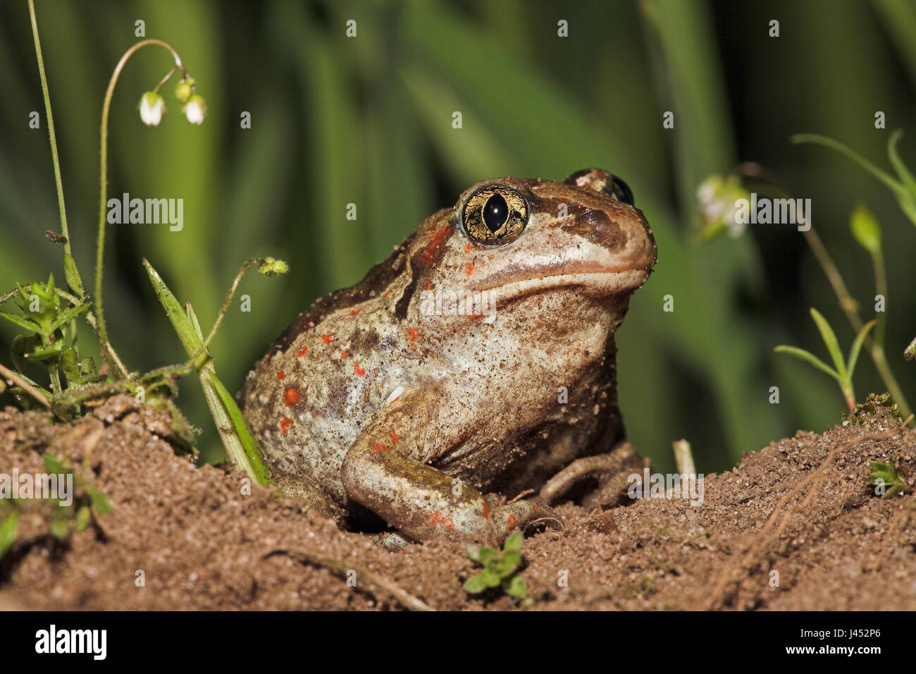 portrait of a common spadefoot on agricultural land that is specially managed for the species that needs loose soil - Stock Image