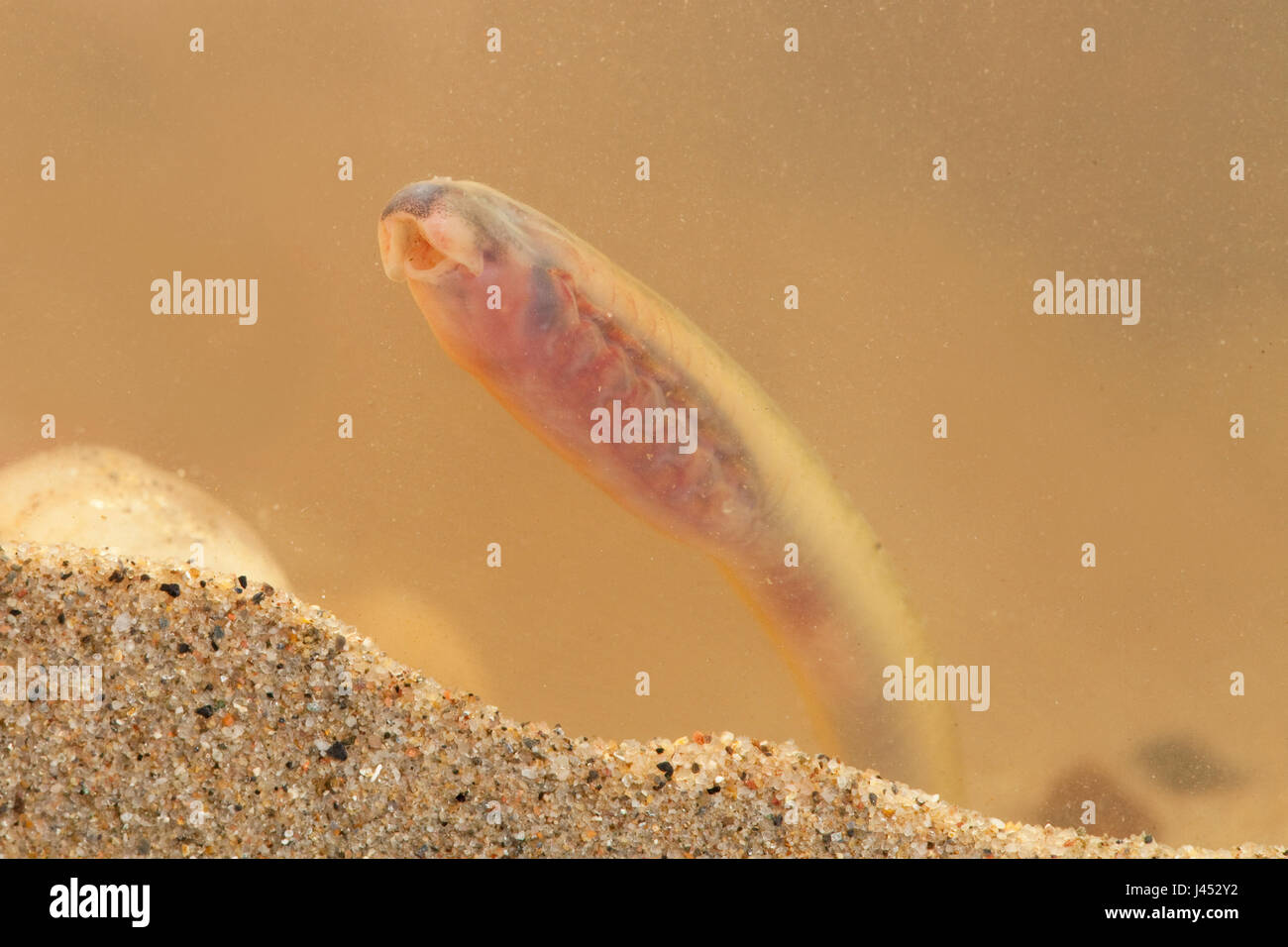 Photo of a River Lamprey or Brook Lamprey larvae, these species are so closely related that it is not possible to - Stock Image