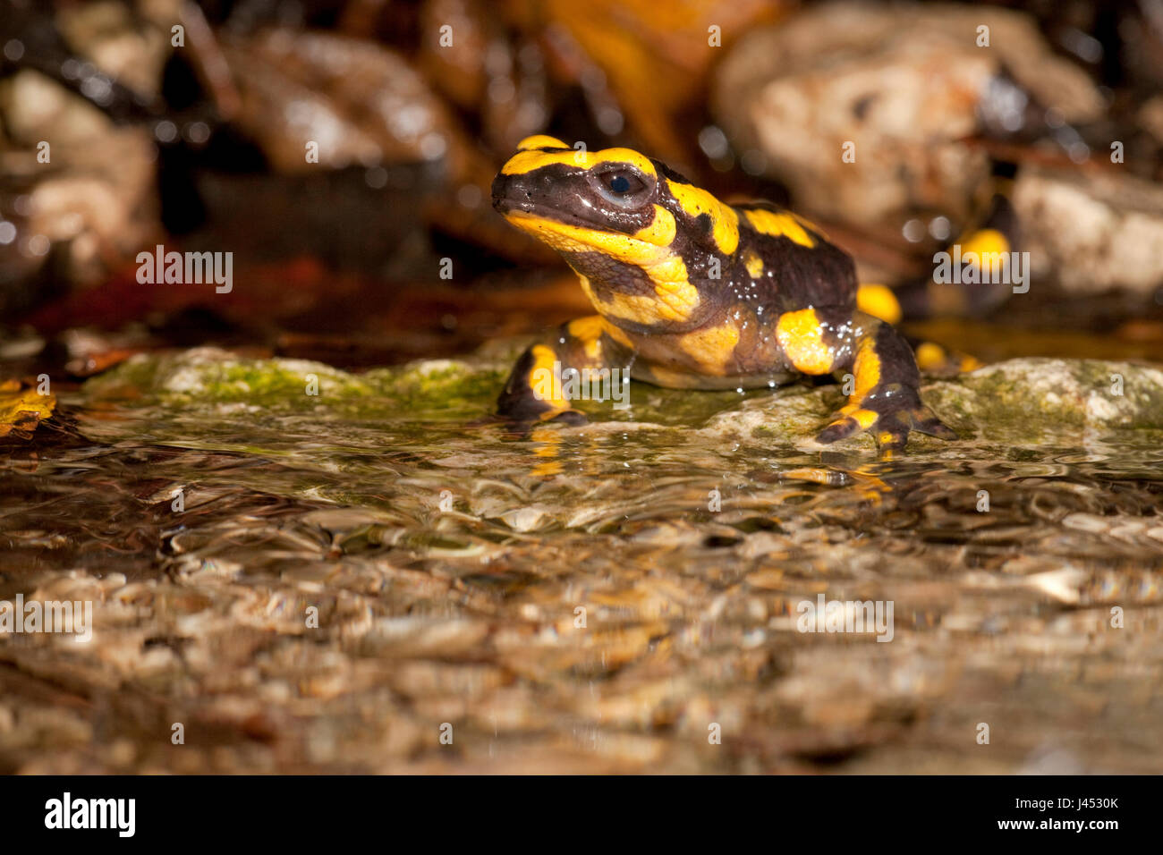 photo of a fire salamander on the edge of a stream - Stock Image