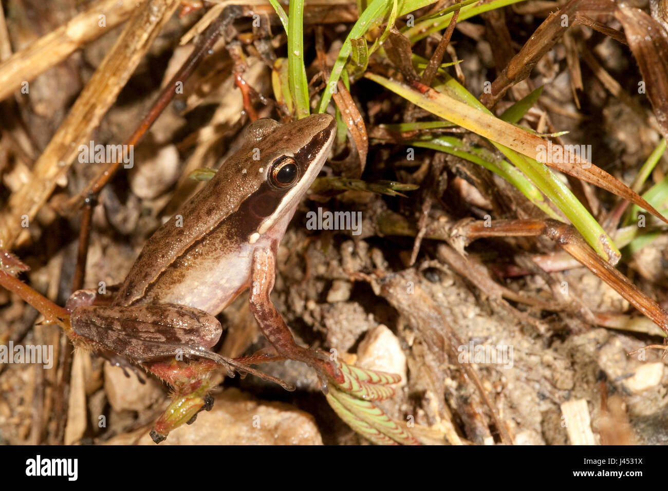 Foto van een Rana nicobariensis; photo of a cricket frog; - Stock Image