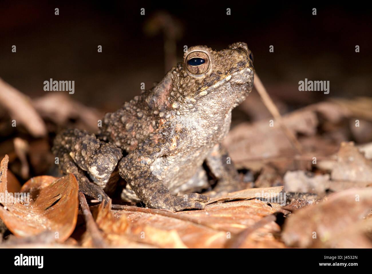 Foto van een enorme pad (Bufo Juxtasper); photo of the enormous giant river toad; - Stock Image
