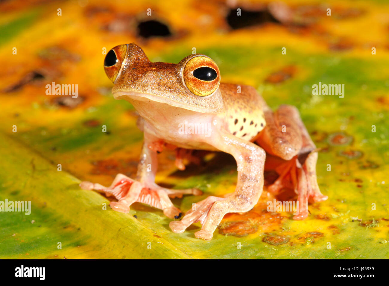 Photo of a harlequin tree frog on a dead banana leaf with green, yellow, brown and orange colours - Stock Image