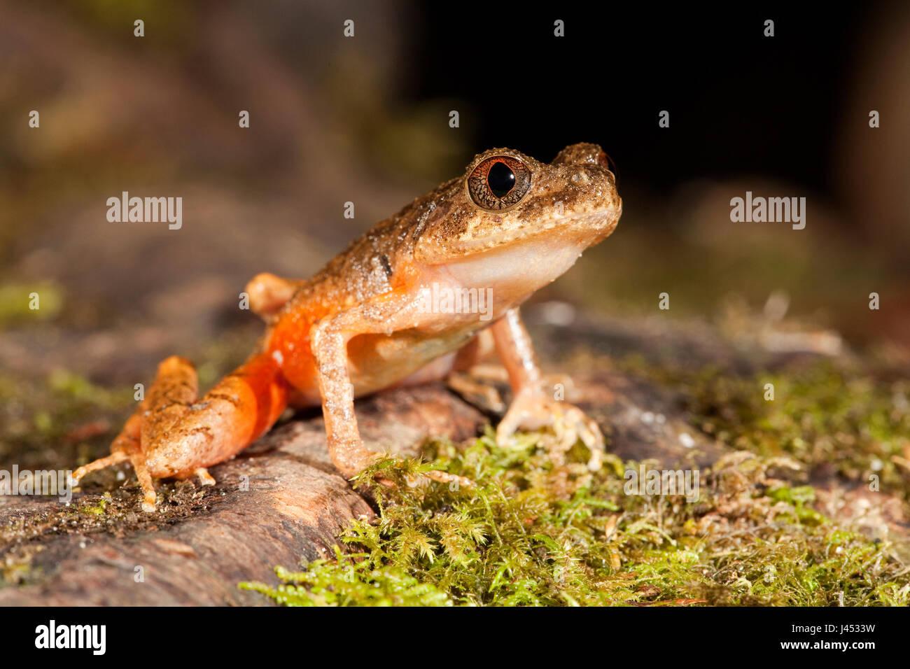 Foto van een Kinabalu slender litter frog; photo of a Kinabalu slender litter frog; - Stock Image