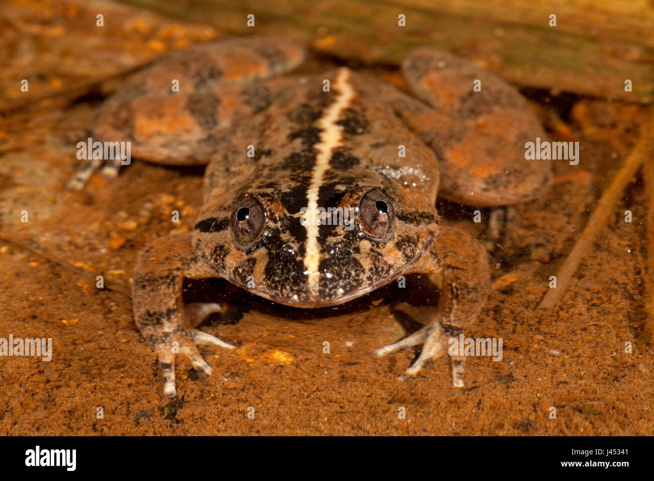 photo of a Kuhl's creek frog - Stock Image