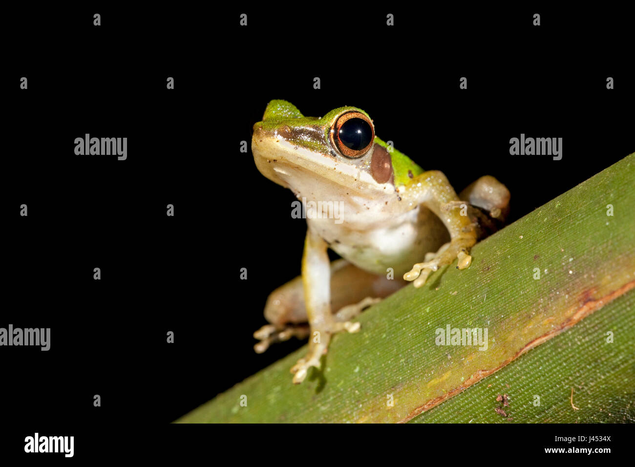 photo of a white-lipped frog on a green leaf - Stock Image