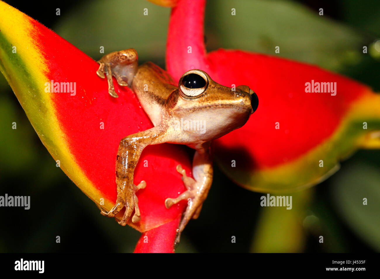 photo of a fourlined tree-frog on a Crab Claw Flower Stock Photo
