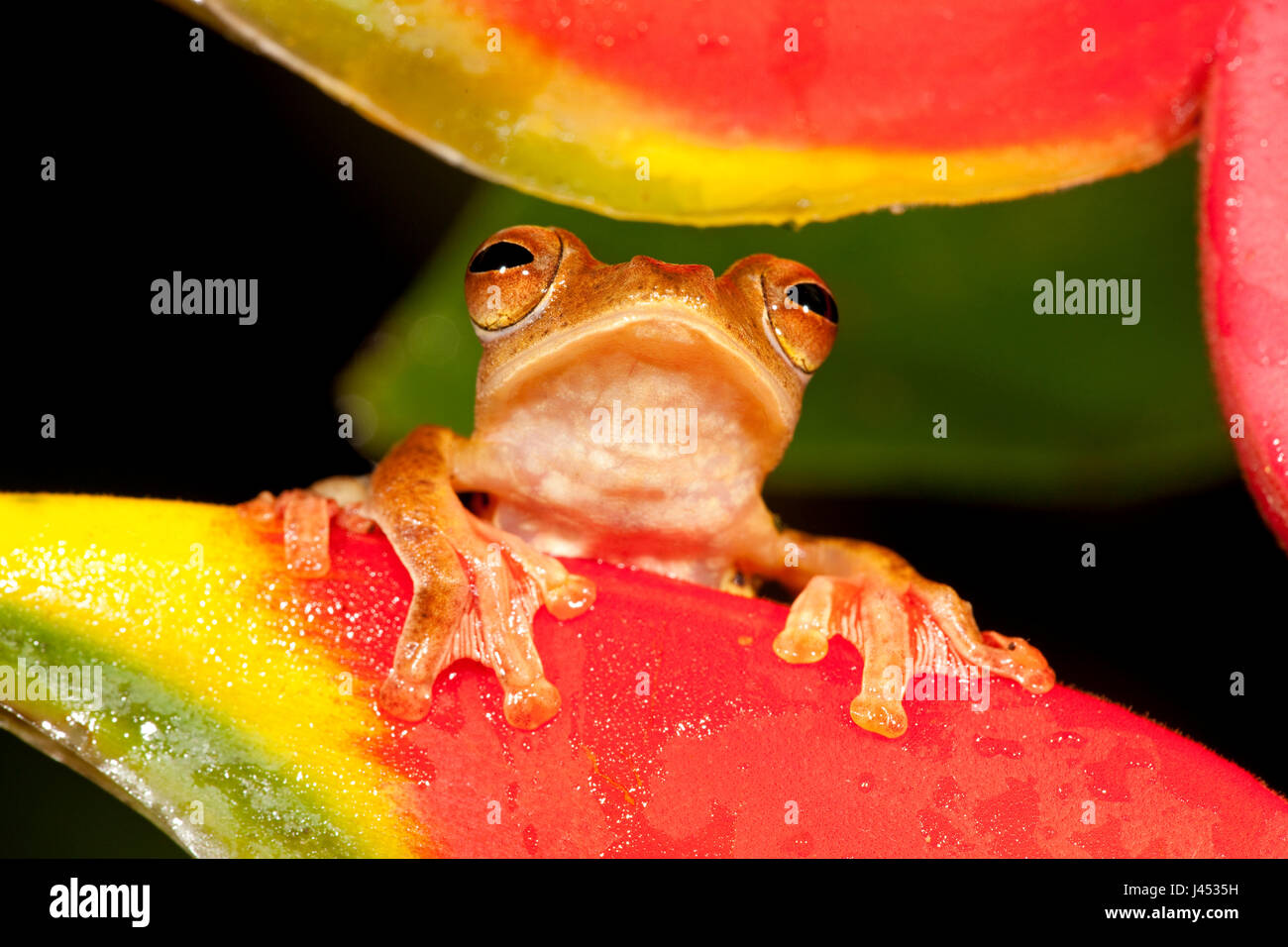 portait of a Harlequin tree frog looking between the flowers of a Crab Claw Flower - Stock Image